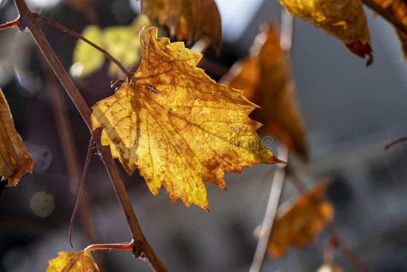 Colorful golden autumn grape leaf close up on blurry background. Colorful golden autumn grape leaf close-up on blurry background stock photo