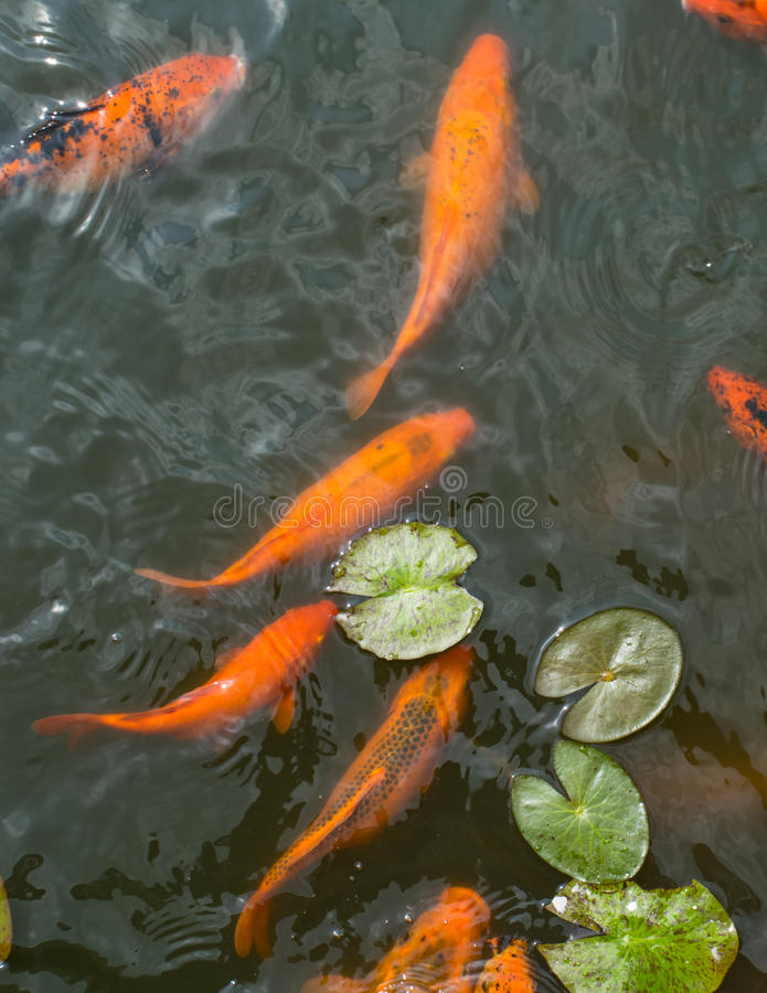 Colorful golden koi fish in a lake in Isha foundation stock photo