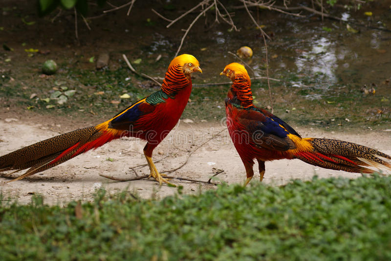 Colorful Golden Pheasant stock image