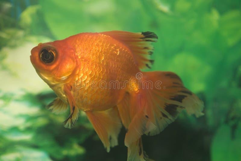 Download Colorful  goldfish stock image. Image of japanese, eyes - 7355667