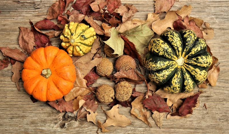 Colorful Gourds, Sycamore Seed Balls and Autumn Leaves Fall Still Life. Orange, yellow and green gourds displayed with sycamore seed balls and autumn leaves on a royalty free stock photos