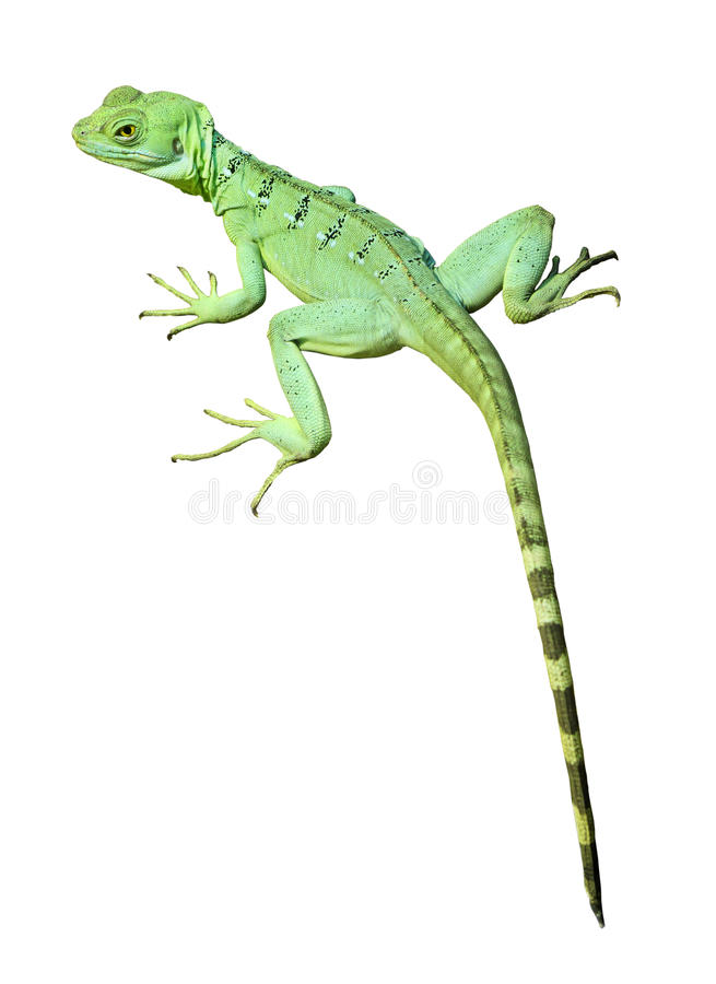 Colorful green basilisk lizard isolated royalty free stock photo