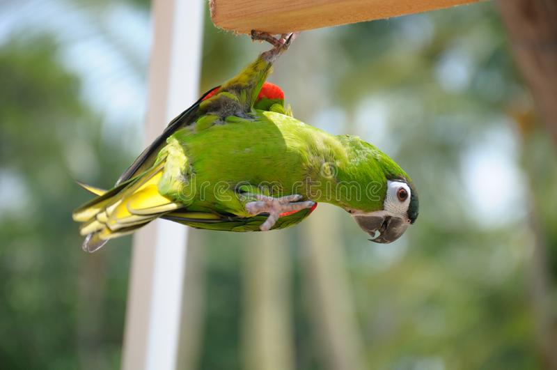 A colorful green feathered lory bird hanging on a piece of wood supported on one claw stock image
