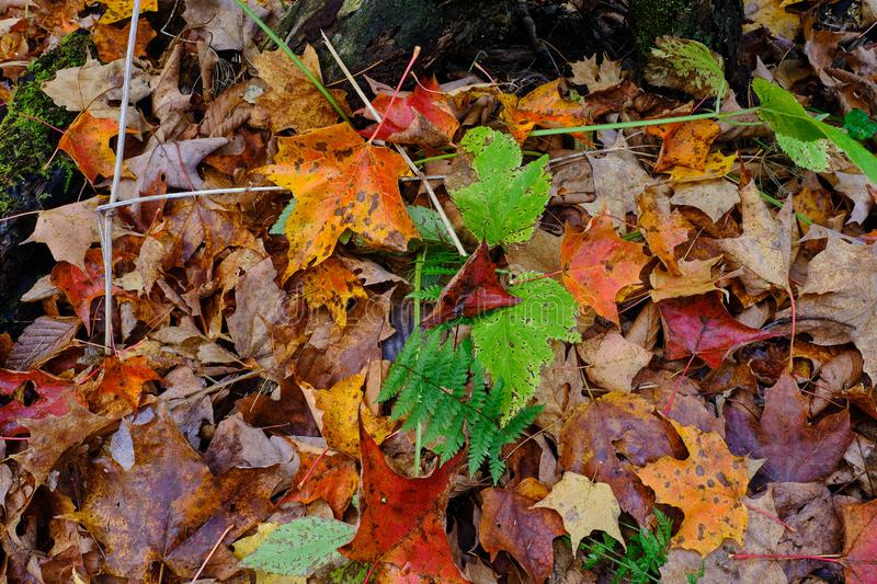 Green ferns and fallen colorful autumn leaves on the forest floor stock photo