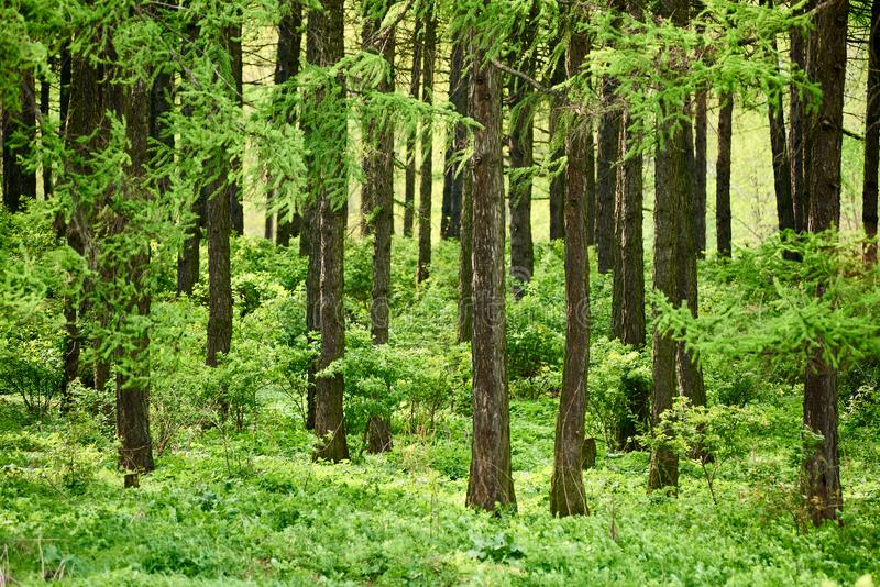 Colorful green forest of fir trees. Beautiful summer background - colorful green forest of fir trees royalty free stock photos