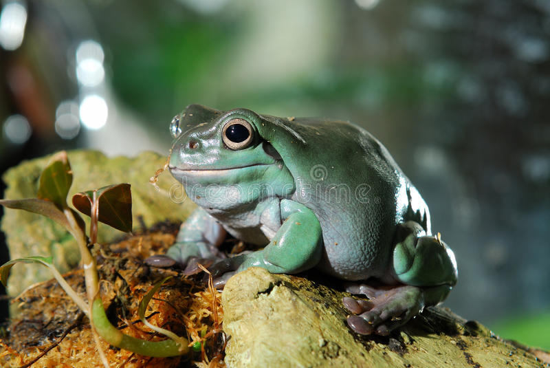 Colorful green frog. Sitting in terrarium royalty free stock photos