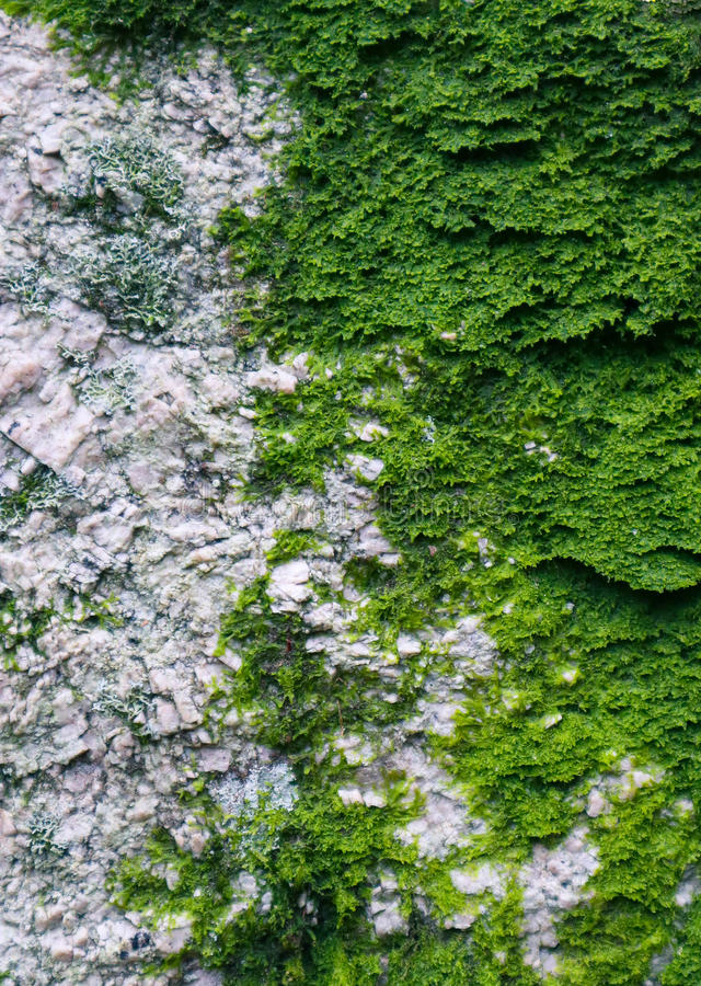 Colorful green moss texture. Photo depicting a bright bushy lichen on an old gray stone wall. Closeup, macro view. stock image