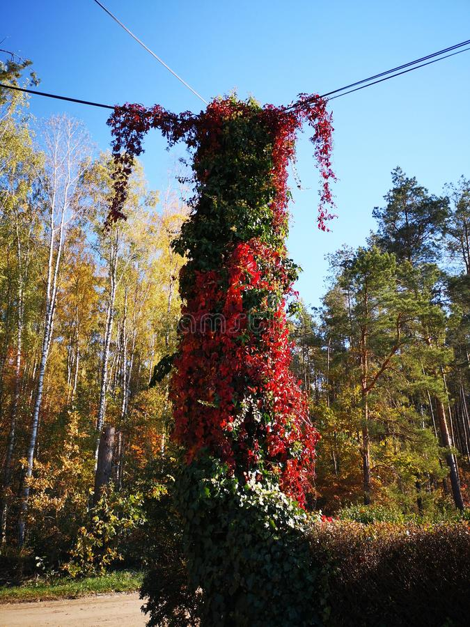 Colorful, green and red  ivy on an electric pole looking like a small girl royalty free stock photos