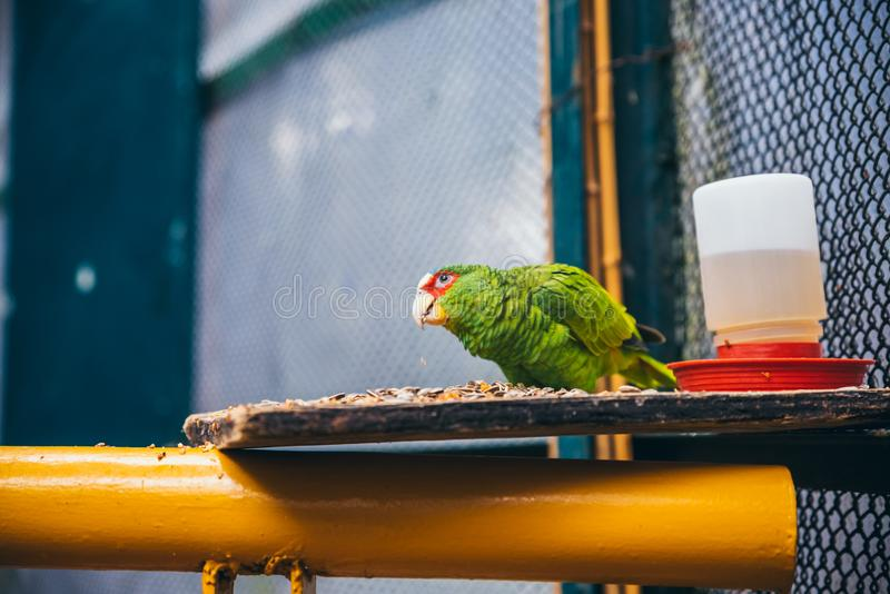 Colorful green and red parrot. Eating seeds in an aviary royalty free stock photo