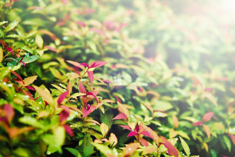 Colorful green red yellow background of leaves with blurred illumination rays. Toned stock photos