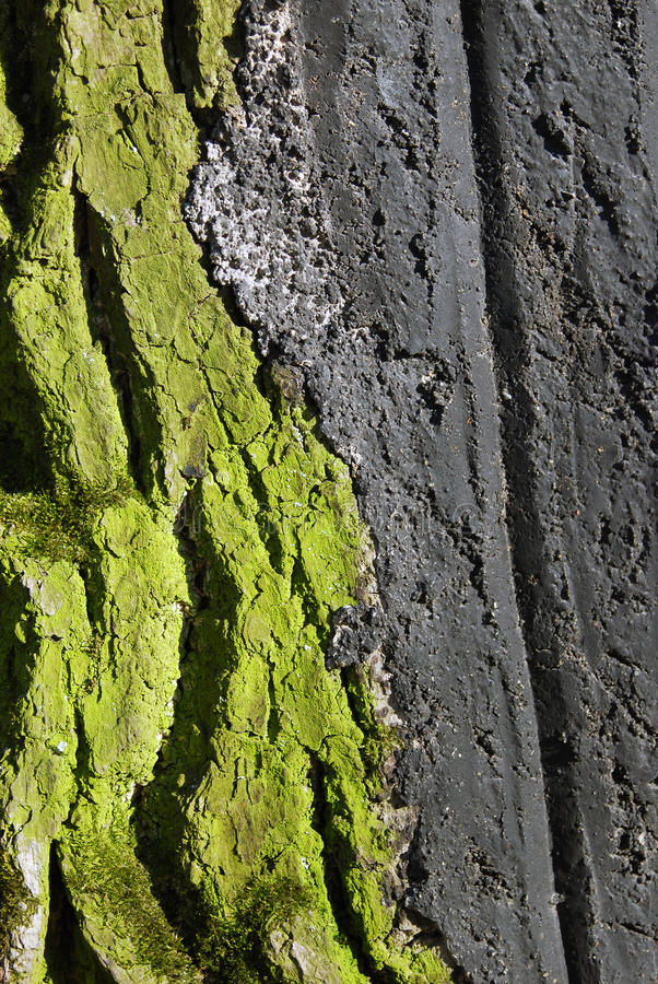 A colorful green tree trunk detail. Green mold covers an old tree trunk. Photo taken in Kolomenskoye park in Moscow in spring royalty free stock image