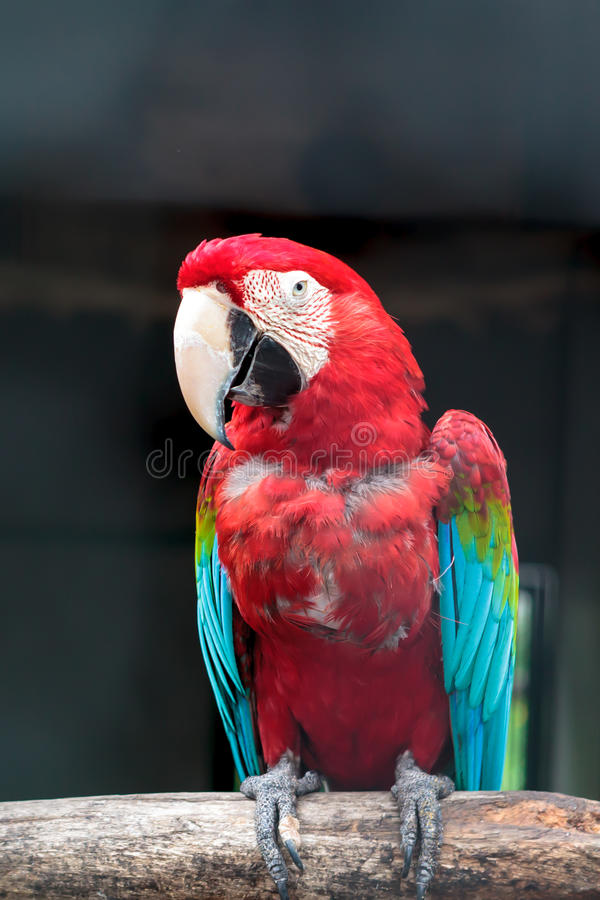 Download Colorful Green Winged Macaw Stock Photo - Image of beauty, tropical: 32000154