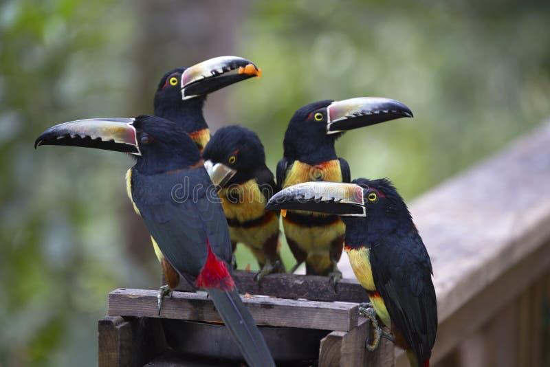 Keel-Billed Toucan Bird Group Feeding Macaw Mountain Rainforest Wildlife Reserve Copan Honduras stock images