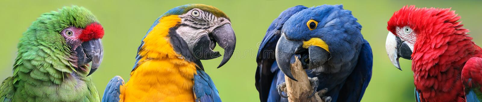 Colorful group of Macaws - 4 species stock photo