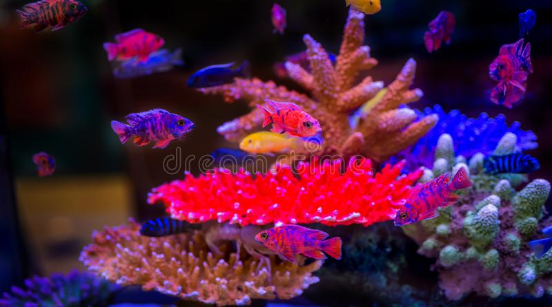 Colorful group of Malawi fish Cichlids beautiful pet in fish tank royalty free stock photo