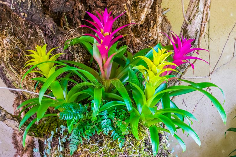 Colorful guzmania flowers in the colors pink and yellow, tropical decorative artificial plants royalty free stock photos