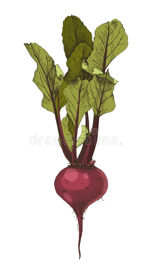 Hand drawn beetroot with leaves. Colorful hand drawn beetroot with leaves isolated on white background. Vector illustration royalty free illustration