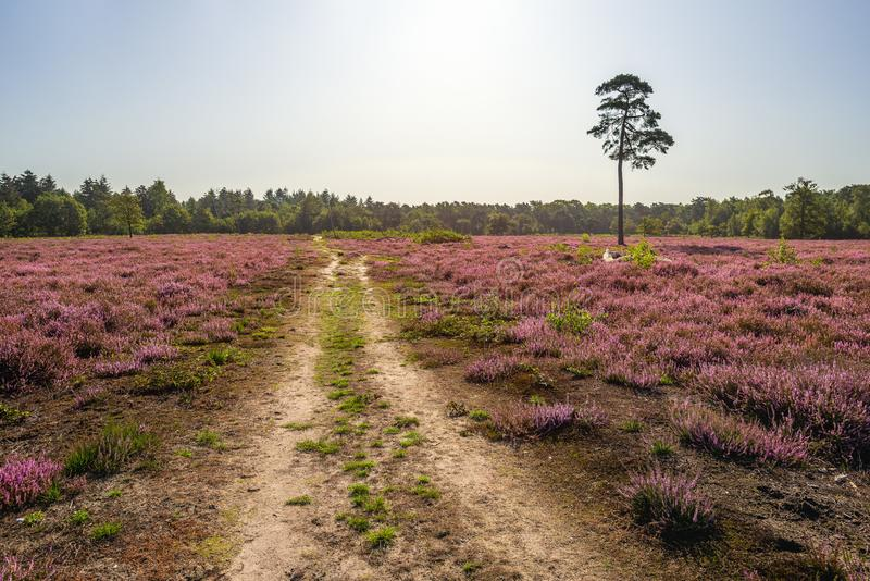 Colorful heather and a pine tree. Dutch landscape with a sandy path and a tall pine tree between the purple flowering heather. The photo was taken on the stock image