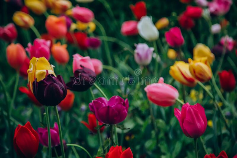 Colorful holiday or birthday panoramic background with tulip flower garden, red, yellow, white, Keukenhof flower garden,. Netherlands, Holland royalty free stock images