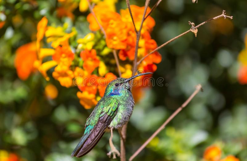 Kolibri. Colorful Hummingbird in Costa Rica, Central America royalty free stock photography