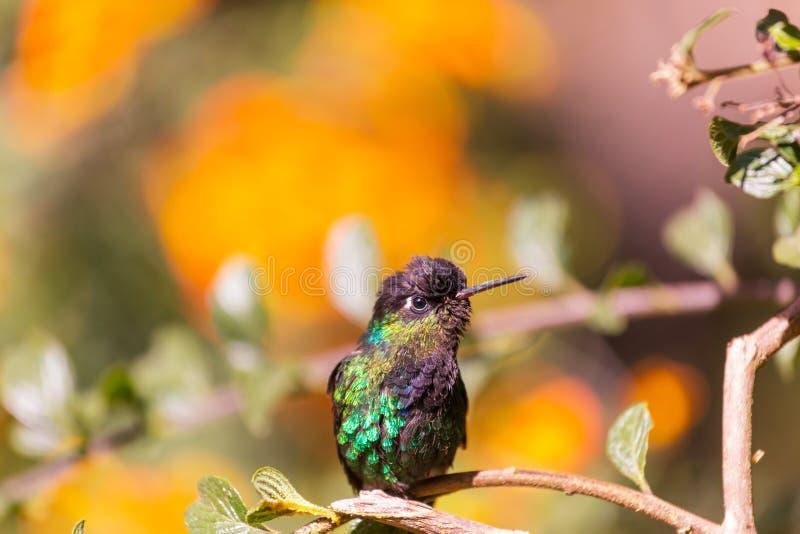 Kolibri. Colorful Hummingbird in Costa Rica, Central America stock image