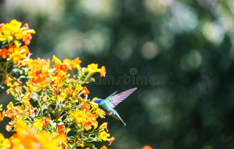 Kolibri. Colorful Hummingbird in Costa Rica, Central America royalty free stock image