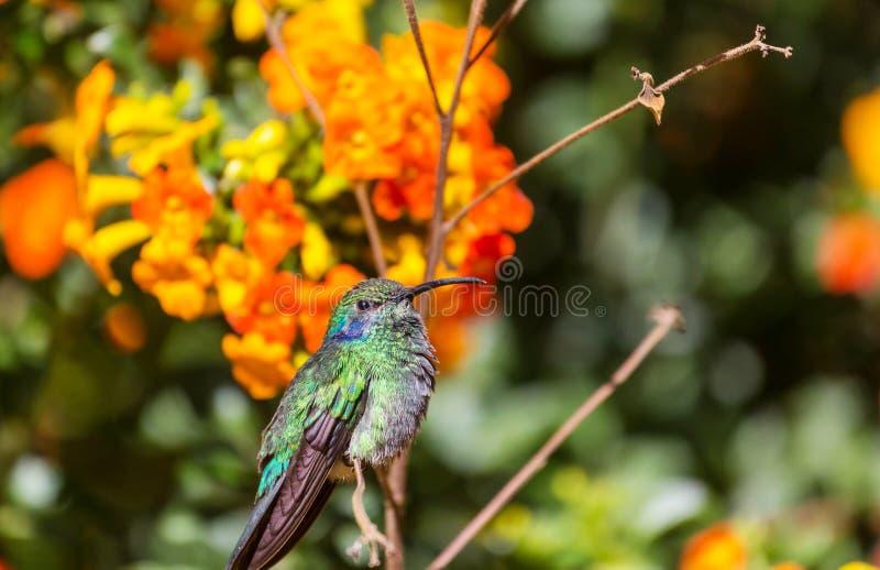 Kolibri. Colorful Hummingbird in Costa Rica, Central America stock photo