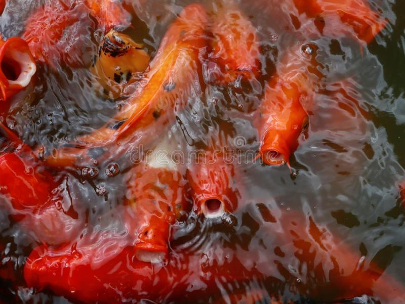 Colorful and Hungry Koi Fish. Hungry red and orange Koi fish with open mouths on pond surface stock image