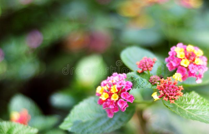 Colorful hybrid flowers are beautiful royalty free stock image
