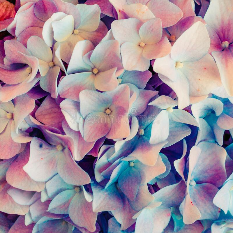 Colorful hydrangea flower background close up royalty free stock image