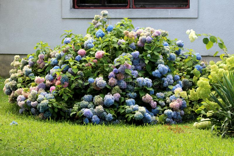 Colorful Hydrangea or Hortensia large garden shrub full of open blooming blue to pink flowers with pointy petals densely planted. In front of family house royalty free stock photos