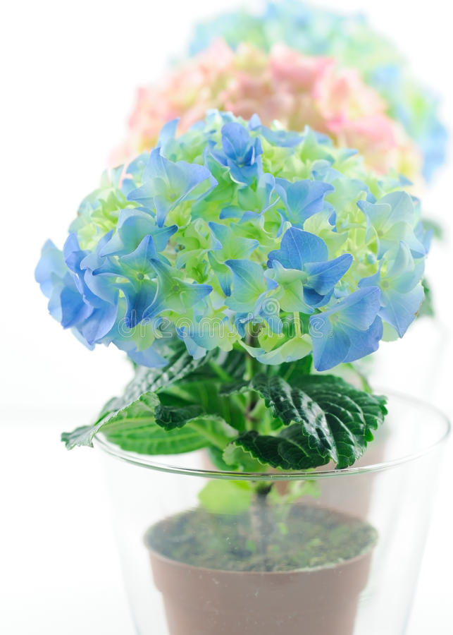 Colorful hydrangeums in glass pots close royalty free stock photography