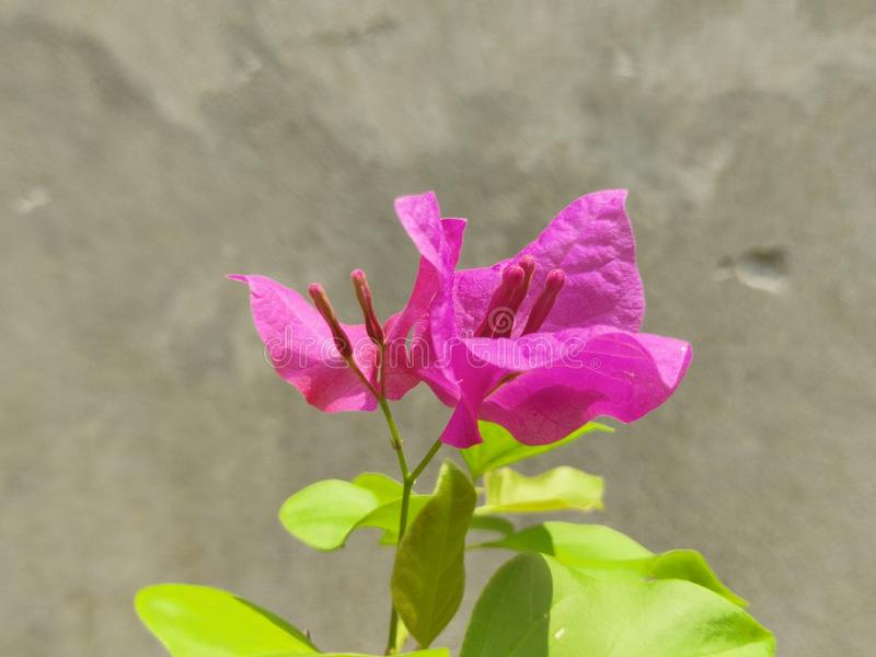 A colorful image of a pink bougainvillea flower covered back with concrete background. Mighty picture of a spring blooming season. royalty free stock image