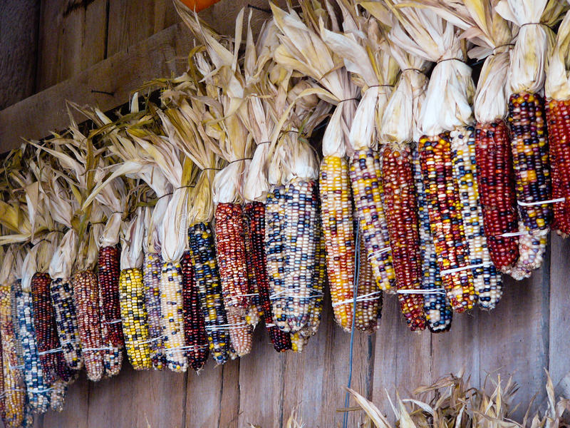 Colorful Indian corn hanging on wooden wall. royalty free stock photos