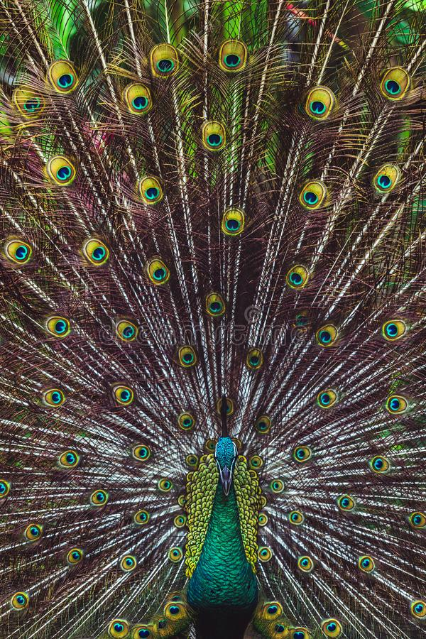 Colorful indian male peacock and its colorful tail stock photo