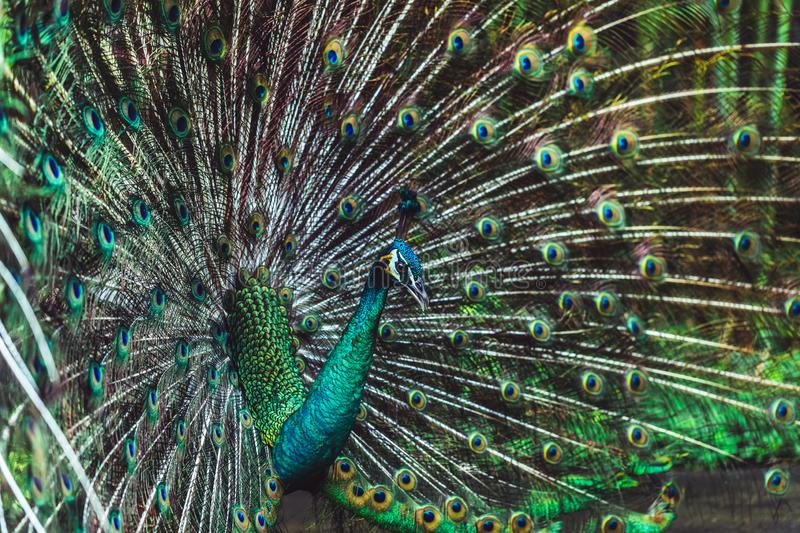 Colorful indian male peacock and its colorful tail. Colorful dancing indian male peacock and its wonderful colorful tail. Portrait close up. Multicolor feather stock photo