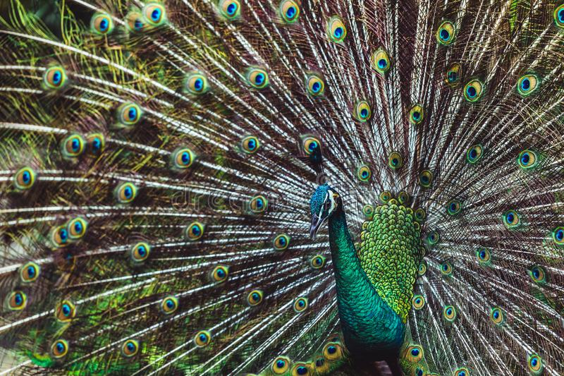 Colorful indian male peacock and its colorful tail. Colorful dancing indian male peacock and its wonderful colorful tail. Portrait close up. Multicolor feather royalty free stock photography
