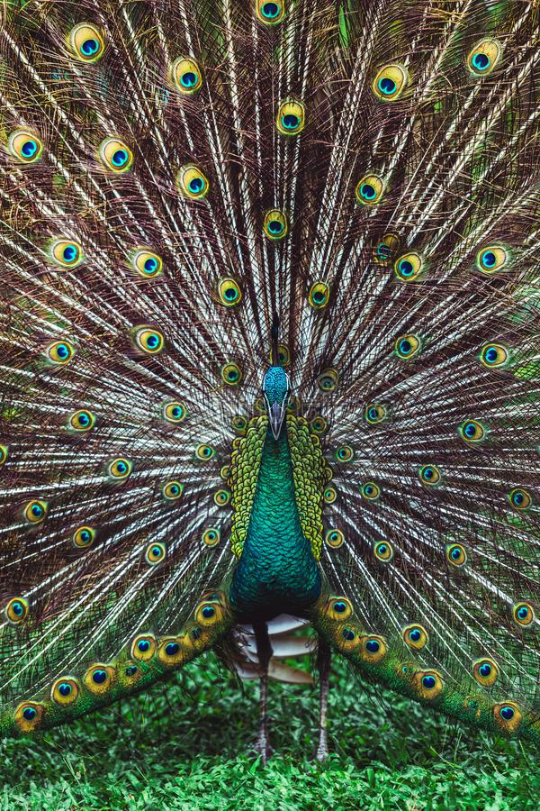 Colorful indian male peacock and its colorful tail. Colorful dancing indian male peacock and its wonderful colorful tail. Portrait close up. Multicolor feather royalty free stock photo