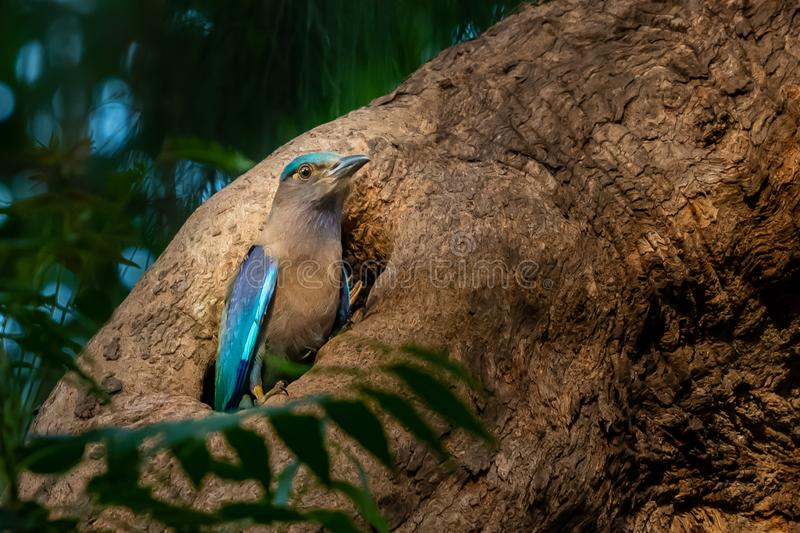 Colorful Indian Roller perching in front of nest hole stock photos