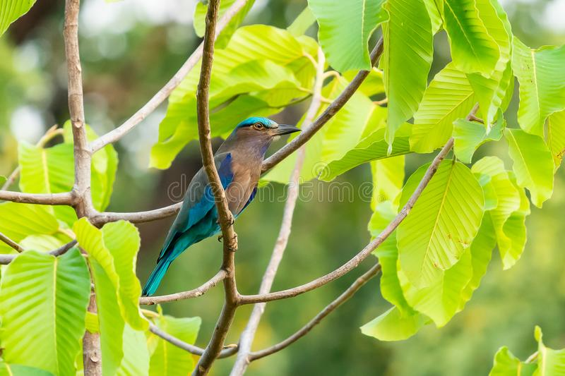 Colorful Indian Roller perching on a perch royalty free stock photos