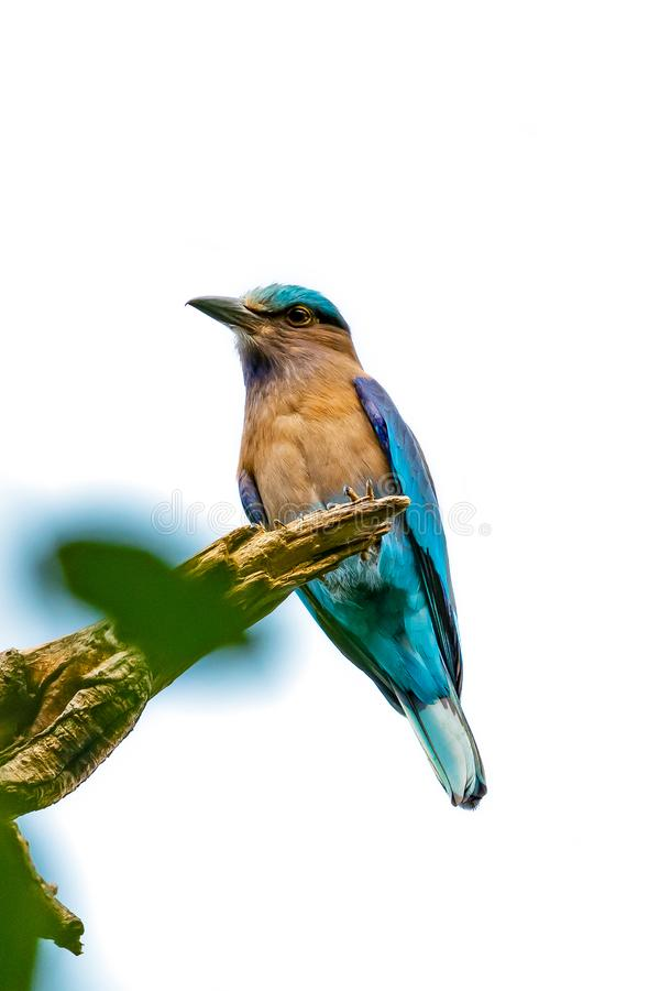 Colorful Indian Roller perching on a perch stock image