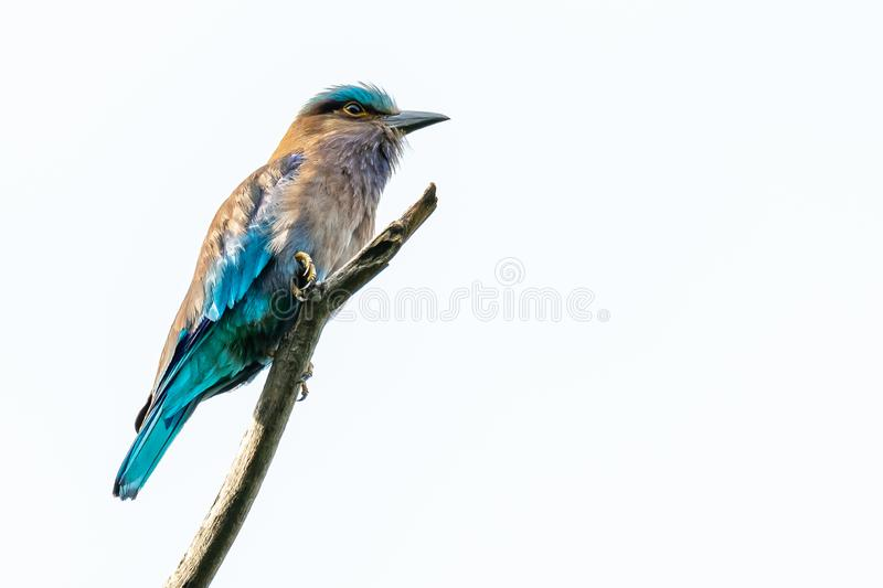 Colorful Indian Roller perching on a perch isolated on white background royalty free stock photography