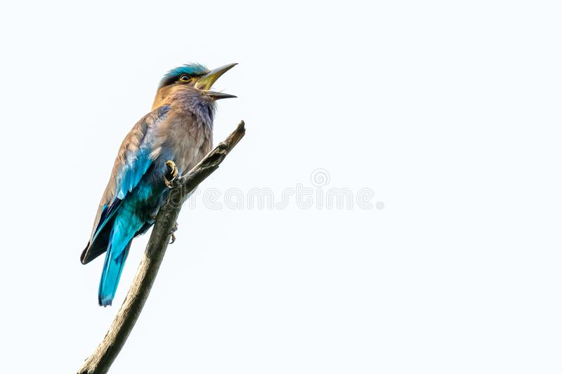 Colorful Indian Roller perching on a perch and opening its beak isolated on white background royalty free stock photography