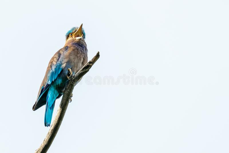 Colorful Indian Roller perching on a perch and opening its beak isolated on white background stock photos