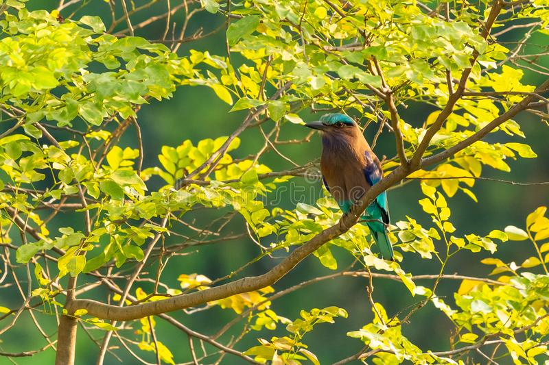 Colorful Indian Roller perching on a perch royalty free stock photo