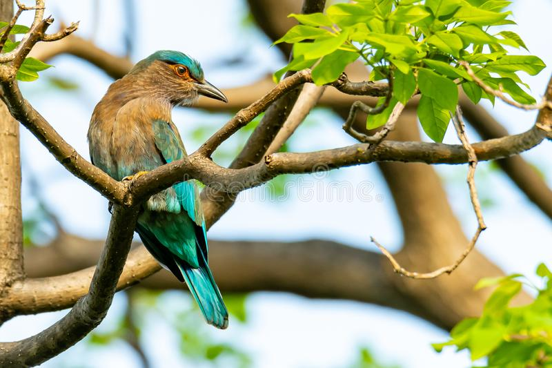 Colorful Indian Roller perching on a perch and turning back its head. Bangkok, Thailand stock photos