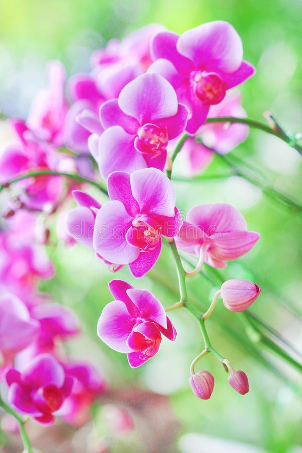 Colorful inflorescence of purple orchids blooming in garden background,natural flower huge group hanging on tree. Close up Colorful inflorescence of purple stock photo