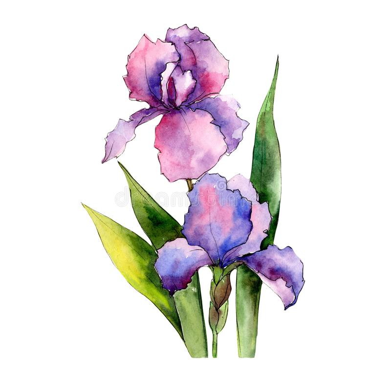 Colorful irises. Floral botanical flower. Wild spring leaf wildflower isolated. Aquarelle wildflower for background, texture, wrapper pattern, frame or border royalty free illustration