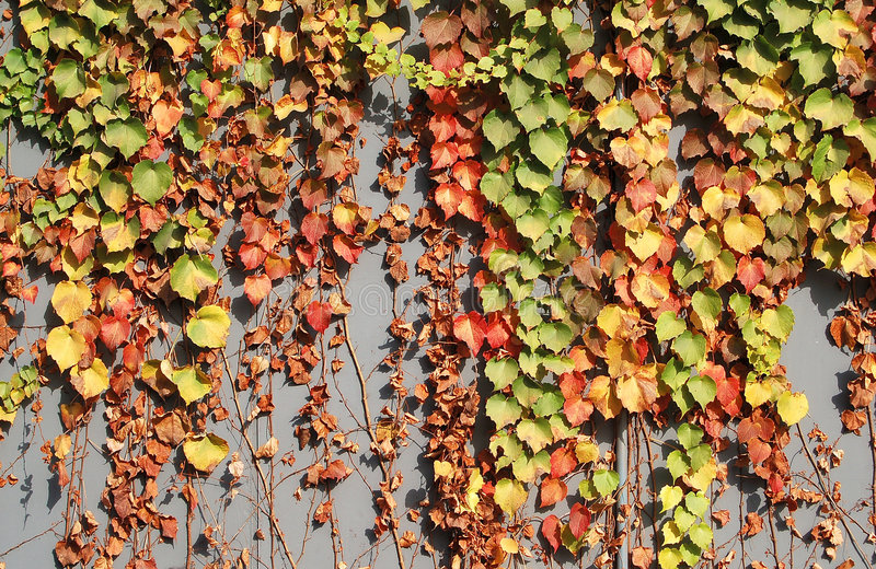 Colorful ivy leaves in fall. Colorful ivy leaves in Autumn, gray colored wall as background stock photos