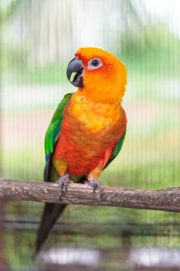 Download Colorful jandaya conure stock photo. Image of avian, parakeet - 32000426